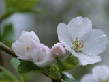Close View of a Cluster of Cherry Blossoms in Rock Creek Park Photographic Print by Taylor S. Kennedy