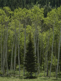 Lone Evergreen Amongst Aspen Trees with Spring Foliage Photographic Print by Raymond Gehman