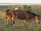 Chincoteague Mare with Foal Photographic Print by Al Petteway