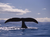 A Bowhead Whale, Also Known as a Greenland Right Whale, Has its Tail Above the Waters Surface Photographic Print by Paul Nicklen