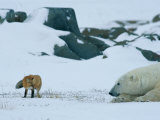 A Red Fox and a Polar Bear Eye Each Other Cautiously on the Hudson Bay Coast Fotografisk tryk af Norbert Rosing