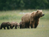 An Alaskan Brown Bear Leads Her Three Cubs Impressão fotográfica por Roy Toft