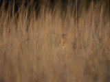 A Bobcat Hides in the Overgrowth Photographic Print by Roy Toft