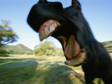 A Close View of a Yawning Horses Wide Open Mouth Photographic Print by Rich Reid