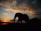 African elephant silhouetted at twilight Lmina fotogrfica por Beverly Joubert