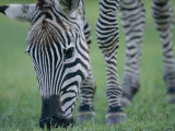 Close View of a Grants Zebra Grazing Photographic Print by Joel Sartore