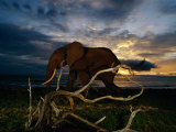 An African Elephant (Loxodonta Africana) Walking Along the Beach Photographic Print by Michael Nichols
