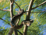 An Amythystine Python Slithers Through the Tree Branches Photographic Print by Roy Toft