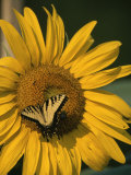 A Yellow Swallowtail Butterfly Sits on a Sunflower in the Sun Fotoprint van Taylor S. Kennedy