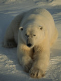 A Close View of a Polar Bear Resting on Ice Photographic Print by Tom Murphy