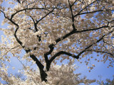 Cherry Trees Blooming in Spring in the Nations Capital Photographic Print by Medford Taylor
