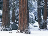 Redwood Trees Dusted with Snow in Yosemite National Park Photographic Print by Marc Moritsch