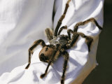 A Large Tarantula Spider on a Mans Arm Photographic Print by W. Robert Moore