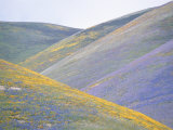 California Poppies, Lupines, and Goldfield Cover Gentle Hillsides Photographic Print by Rich Reid