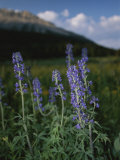 Close View of a Larkspur Flower, Delphinium Species Fotografie-Druck von Raymond Gehman