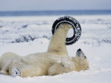 A Polar Bear Plays with an Old Tire Photographic Print by Norbert Rosing