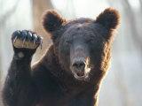 Ours faisant coucou à l'appareil photo Photographie par Raymond Gehman