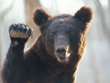 A Bear Waves at the Camera Lmina fotogrfica por Raymond Gehman