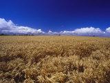 A Wheat Field at Bool Lagoon Photographic Print by Jason Edwards