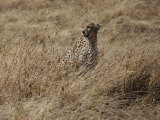 A Camouflaged Cheetah Sits Alone in a Field of Tall Grass in Serengeti National Park Photographic Print by Kenneth Love