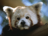 Close View of a Red Panda Photographic Print by Joel Sartore
