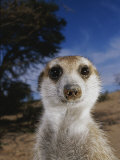 A Close View of an Adult Meerkat (Suricata Suricatta) Fotografisk tryk af Mattias Klum
