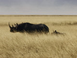 A Black Rhinoceros and Her Youngster Walk in the Tall Grass Photographic Print by Jason Edwards