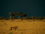 A Male African Lion Walks Across the Sunlit Savanna Photographic Print by Beverly Joubert
