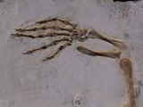 Fossil of Lizard-Like Creature, China Photographic Print by O. Louis Mazzatenta