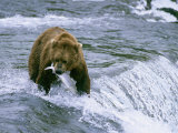 Grizzly Bear (Ursus Arctos) Fishing at Brook Falls, Katmai National Park, Alaska Photographic Print by Rich Reid