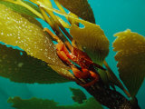 Red Crab on a Kelp Plant, Close View Fotografisk tryk af Bill Curtsinger