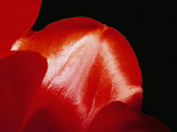 Sunlight Shines on Red Tulip Petals Photographic Print by Brian Gordon Green