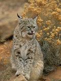 A Bobcat Fotografisk tryk af Norbert Rosing