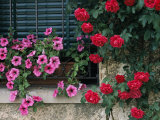 Close View of Corner of Window with Petunia Flower Box and Red Roses Photographic Print by Todd Gipstein