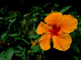 A Close View of an Hibiscus Flower Photographic Print by Tim Laman