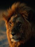 Close View of a Male Lion (Panthera Leo) Fotodruck von Beverly Joubert
