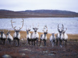 A Group of Barren-Ground Caribou Photographic Print by Paul Nicklen