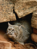A Bobcat Pokes out from its Alcove in a Controlled Condition Setting Photographic Print by Norbert Rosing