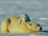 A Polar Bear Cub Rests Comfortably Atop the Back of His Mother Fotografisk tryk af Norbert Rosing