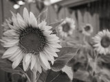A Black and White Photograph of a Sunflower Photographic Print by Stacy Gold