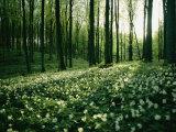 Spring Forest View with Anemones, Rugen Island in the Baltic Sea Fotografie-Druck von Sisse Brimberg
