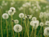Dandelion Heads in a Field Near Walton, Nebraska Photographic Print by Joel Sartore