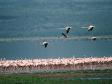 A Flock of Greater Flamingos Photographic Print by Roy Toft
