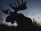 The Silhouetted Head of a Moose Photographic Print by Joel Sartore