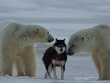 Two Polar Bears (Ursus Maritimus) Sniff a Chained Husky Photographic Print by Norbert Rosing