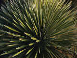 A Lechuguilla Plant in the Desert Photographic Print by Stephen Alvarez