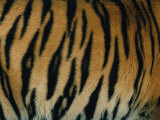 Close View of the Stripes on a Indian Tiger Photographic Print by Michael Nichols