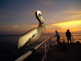A Brown Pelican Sits on the Pier Railing at Sunset, While People Fish in the Background Photographic Print by Scott Sroka