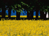 Spectacular Fields of Yellow Wildflowers Photographic Print by Sisse Brimberg