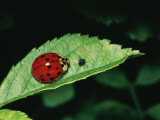 A Close View of a Ladybug and Aphid on a Leaf Photographic Print by Brian Gordon Green